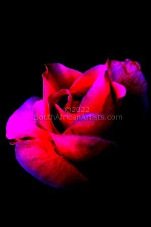 """Red Rose Escaping Darkness"""